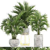 3D howea palm model