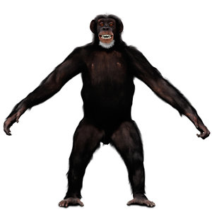 3D chimpanzee fur rig model