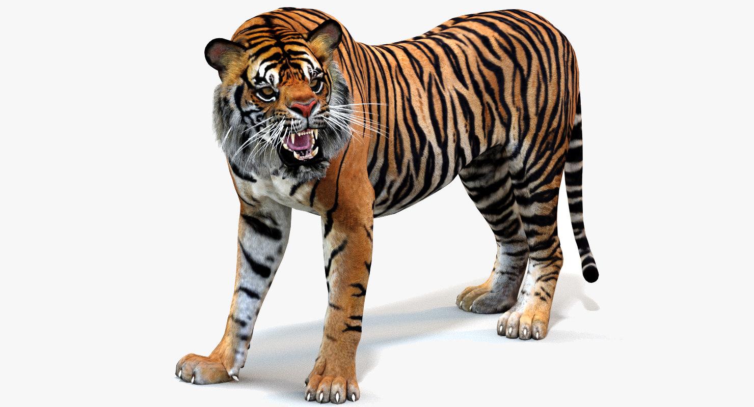 sumatran tiger cat animation model