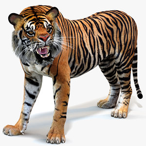 sumatran tiger cat animation model