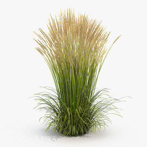 feather reed grass karl 3D