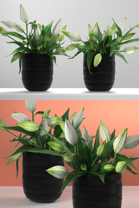 3D white asiatic lily