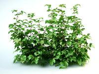 Raspberry set Rubus bush