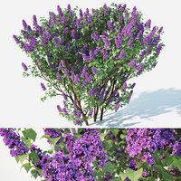 Lilac, Syringa vulgaris XL