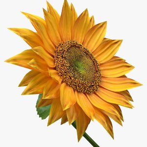 3D realistic sunflower flowers model