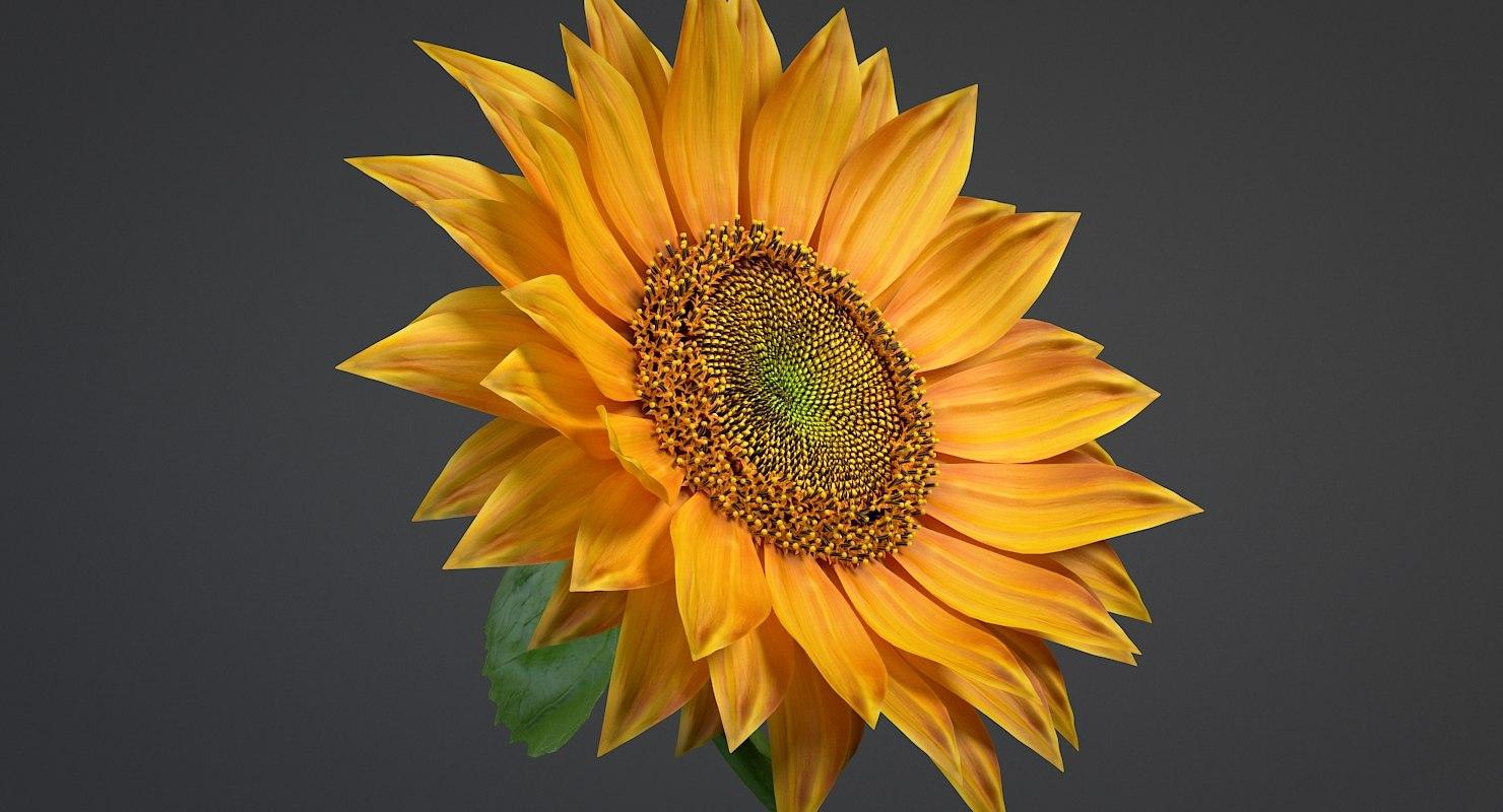 3D realistic sunflower flowers model