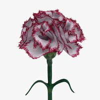 3D realistic carnation flower model