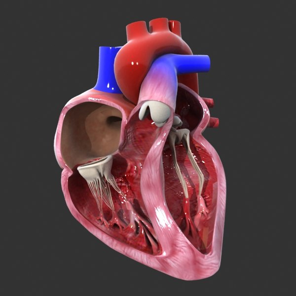Human Heart Medical Animation Model Turbosquid 1227482