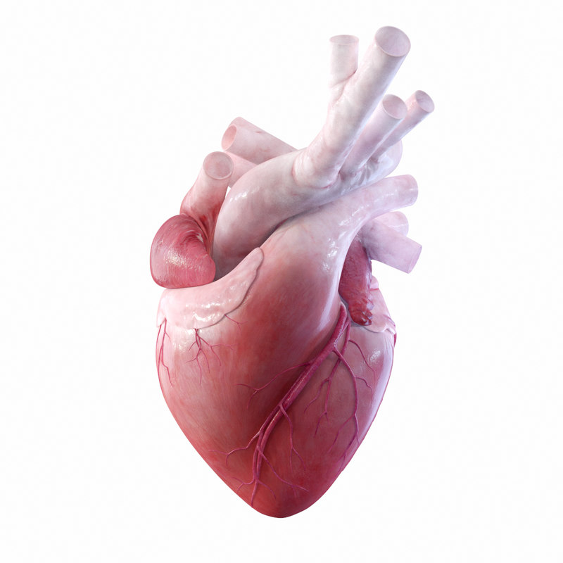 3D rigged heart beating model