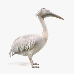 pelican pelecanus onocrotalus 3D