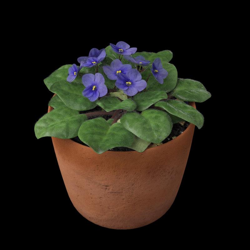 3D african violet model