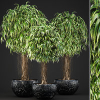 ficus alii trees model
