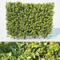 Ligustrum ovalifolium modular hedge. 110cm