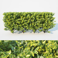 Ligustrum ovalifolium modular hedge. H 60cm