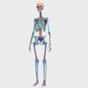 female human skeleton bones 3D model