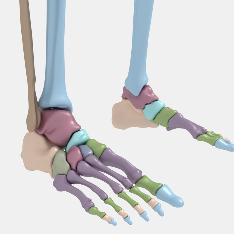 Female Human Skeleton Bones 3d Model Turbosquid 1228387