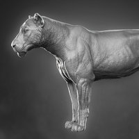 3D lioness zbrush