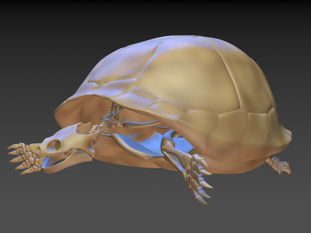 turtle skeleton 3D model