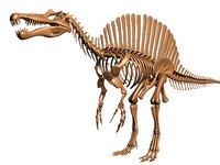 skeleton spinosaurus model