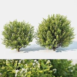 blossom flowering 3D model