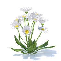 daisies flowers bellis 3D model