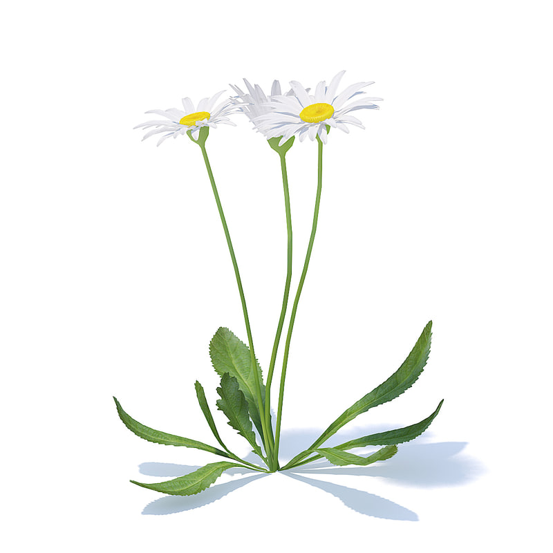 daisies flowers bellis 3D model