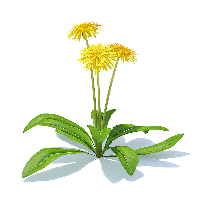 3D sow-thistle flowers sonchus