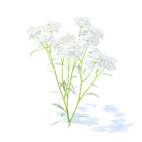 yarrow plant achillea 3D model