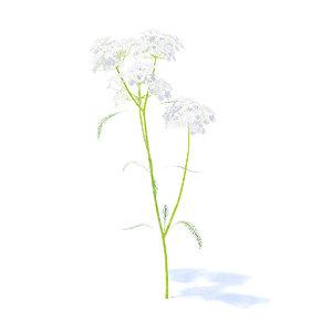3D yarrow plant achillea model