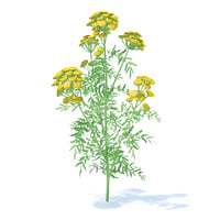 tansy plant tanacetum 3D