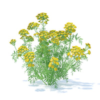 3D tansy plant tanacetum