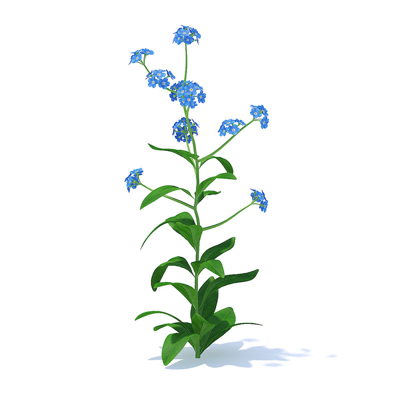 3D woodland forget-me-not