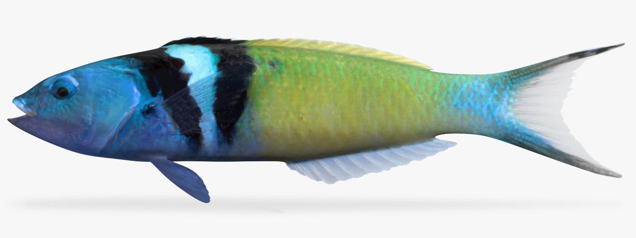 bluehead model