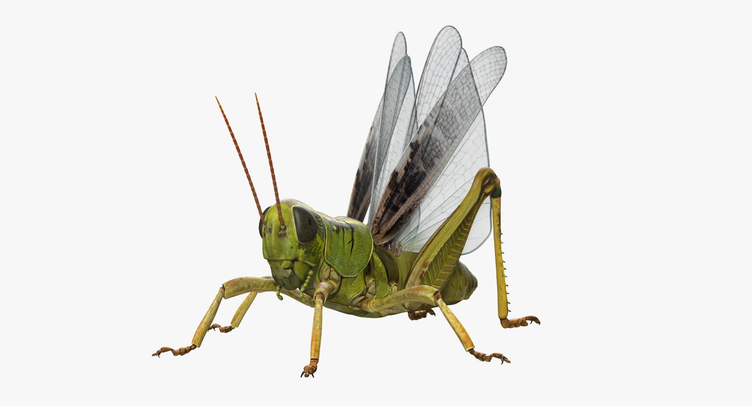 common field grasshopper model
