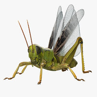common field grasshopper model