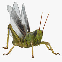 Common Field Grasshopper with Fur 3D Model