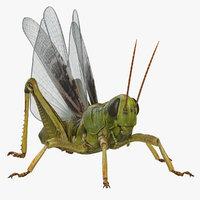3D model common field grasshopper fur