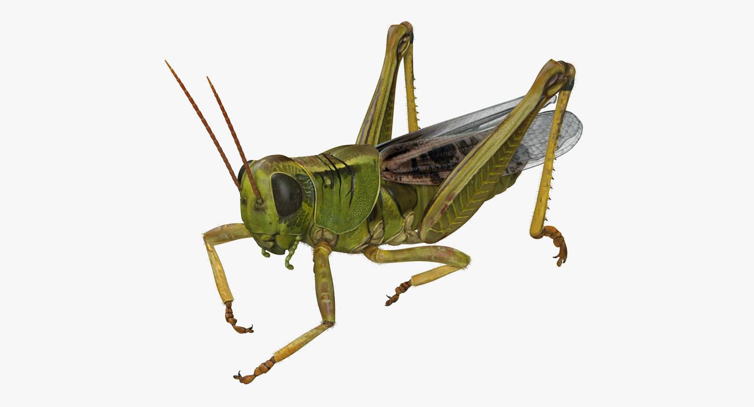 3D grasshopper eating pose fur model