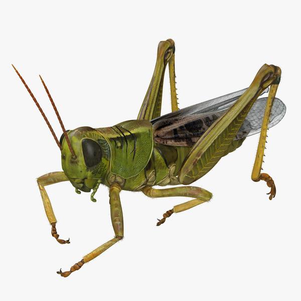 3D grasshopper eating pose fur model