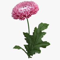 chrysanthemum flower realistic 3D model