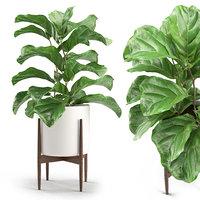 Plant 012 - Ficus Lyrata
