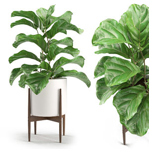 3D plant 012 - ficus