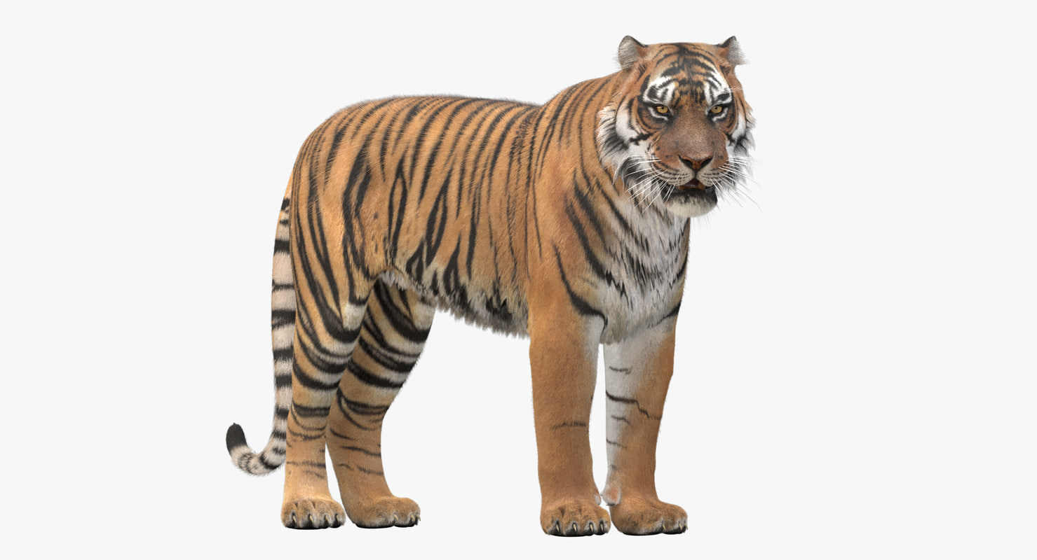 3D realistic tiger fur ornatrix model