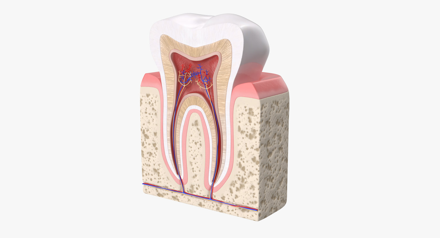 Human tooth anatomy model - TurboSquid 1230174