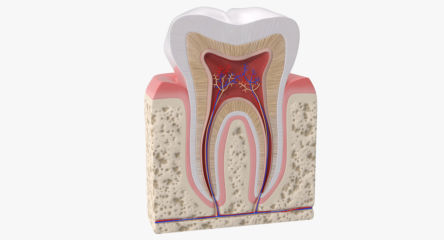 Human Tooth Anatomy Model Turbosquid 1230174