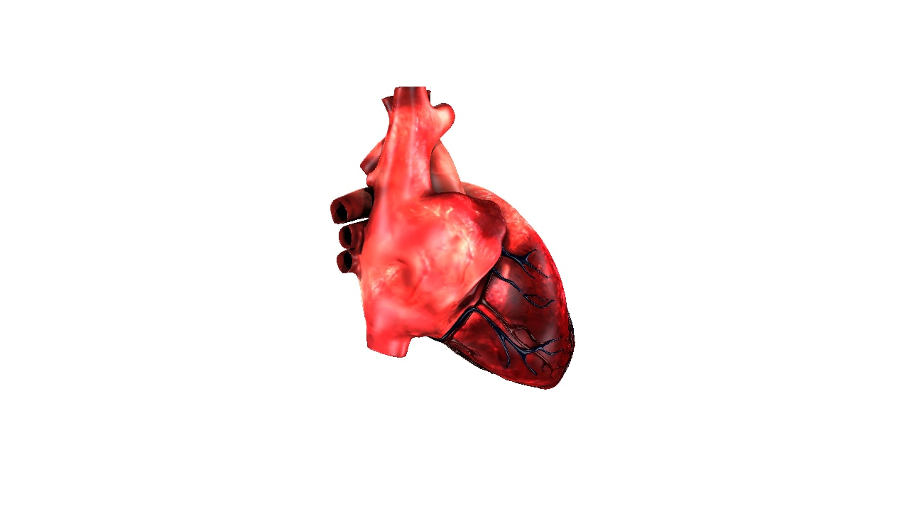 anatomy heart 3D model