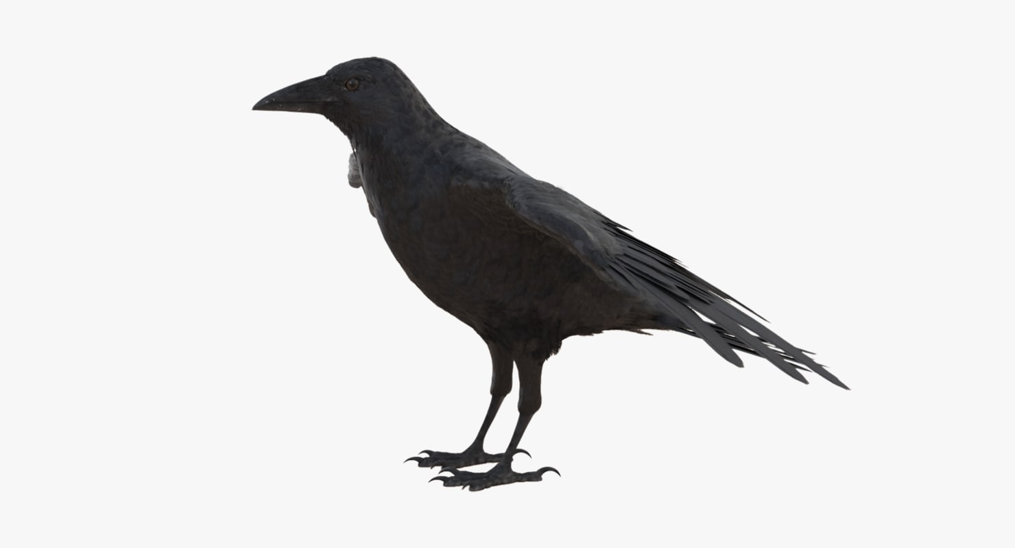 crow feathers 3D model