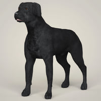black labrador dog animation model