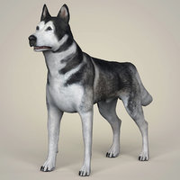 3D alaskan malamute dog animation