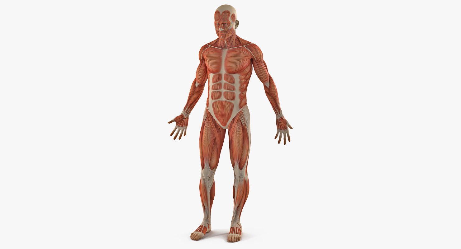 male anatomy muscular 3D model